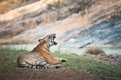 Gähnendes Bengal-Tigerlügen faul auf dem Ufer von einem Fluss- Nationalpark ranthambhore in Indien stockfotos