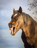 Gähnendes braunes Pferd auf Himmelhintergrund stockfotos