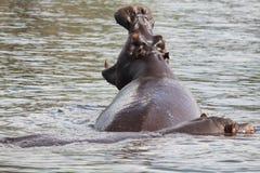 Gähnendes Flusspferd lizenzfreies stockfoto