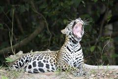 Gähnendes Jaguar beim Lügen auf Riverbank lizenzfreies stockbild