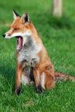 Gähnendes roter Fox-Profil Stockfotos