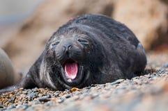 Gähnendes Seehundbaby Stockbild
