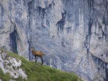 Gämse auf felsiger Steigung in den Alpen Stockbild