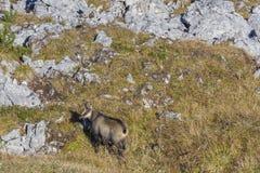 Gämse in den österreichischen Alpen Stockfotografie