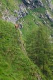 Gämse in den Bergen eine Gebirgsziege im wildeness lizenzfreies stockfoto