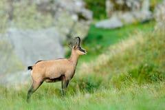 Gämse, Rupicapra Rupicapra, im grünen Gras, grauer Felsen im Hintergrund, Gran Paradiso, Italien Gehörntes Tier in der Alpe Wildl Stockbilder