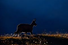 Gämse, Rupicapra Rupicapra, im grünen Gras, Sonnenuntergangrücklicht glättend, Gran Paradiso, Italien Gehörntes Tier in der Alpe  Lizenzfreies Stockfoto
