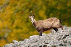 Gämse, Rupicapra Rupicapra, im Steinhügel, grauer Felsen im Hintergrund, Studenec-Hügel, Tschechische Republik, Tier von der Alpe Stockbilder