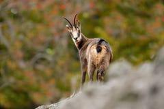 Gämse, Rupicapra Rupicapra, im Steinhügel, grauer Felsen im Hintergrund, Studenec-Hügel, Tschechische Republik, Tier von der Alpe Stockfoto