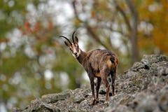 Gämse, Rupicapra Rupicapra, im Steinhügel, grauer Felsen im Hintergrund, Studenec-Hügel, Tschechische Republik, Tier von der Alpe Lizenzfreies Stockbild