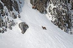 Gämse und Schnee stockbilder