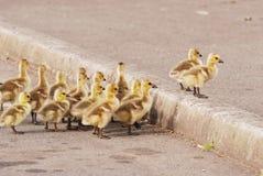 Enten-Teich stockbilder