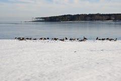 Gänse auf bedecktem Ufer des Winters Schnee Lizenzfreie Stockbilder