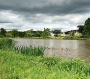 Gänse auf dem Fluss stockfotos