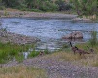 Gänse auf dem Fluss Stockfoto
