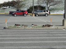 """Gänse auf dem Parkplatz Januar 2016 USA Ð """" Lizenzfreie Stockfotos"""