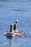 Gänse auf dem See Lizenzfreies Stockfoto