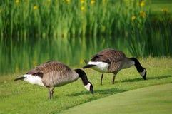 Gänse auf einem Golfplatz Lizenzfreie Stockfotos