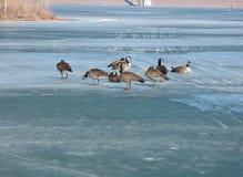 Gänse auf gefrorenem See Lizenzfreie Stockbilder