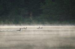 Gänse auf nebelhaftem See stockfotos