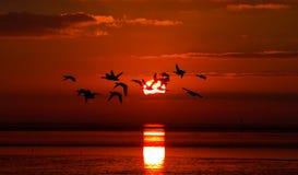 Gänse bei Sonnenaufgang Stockfotografie