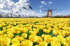 Gänse, die über endlosen gelben Tulpenbauernhof fliegen lizenzfreies stockfoto