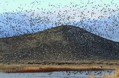 Gänse, die über entfernten Hügel fliegen stockfotografie