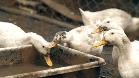 Gänse, die auf Bauernhof essen stock video footage