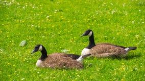 Gänse, die auf dem Gras weiden lassen Lizenzfreie Stockfotos
