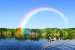 Gänse, die auf den Fluss zum magischen Regenbogen schwimmen Lizenzfreie Stockfotografie