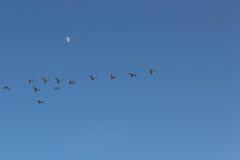 Gänse, die gegen den Himmel fliegen Lizenzfreies Stockbild