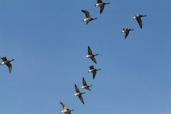 Gänse, die gegen einen klaren blauen Himmel fliegen Lizenzfreies Stockfoto