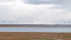 Gänse, die im Flug von einem großen Feld abfahren Fliegenmenge von Mischenten bildschirm Wildenten fliegen hoch in das Blau stock video footage