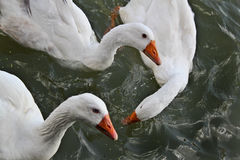 Gänse, die im Fluss schwimmen Lizenzfreie Stockfotos