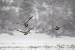 Gänse, die niedrig in Winter fliegen Stockbilder