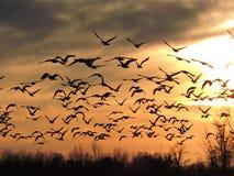 Gänse, die in Richtung zu einem Sonnenuntergang fliegen lizenzfreie stockbilder