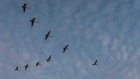 Gänse, die südwärts fliegen Stockbilder