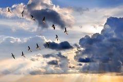 Gänse, die in V-Bildung fliegen Lizenzfreie Stockfotografie