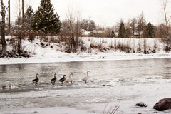 Gänse in einem eisigen Fluss stockfoto