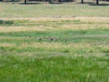 Gänse in einem Sumpf stockbild