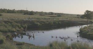 Gänse grasen und schwimmen im Fluss stock video