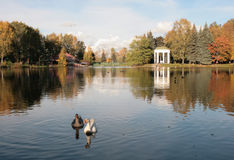 Gänse im parc, St Petersburg stockbilder