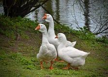 Gänse im Park in einem Teich Lizenzfreies Stockfoto
