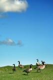 Gänse und blauer Himmel Stockfotos
