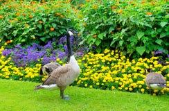 Gänse und Blumenbeet Stockbild