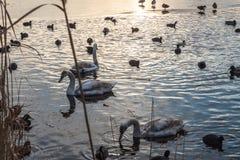 Gänse und Enten, die Sonnenuntergangwasser schwimmen stockfotografie