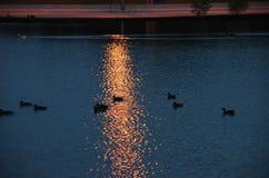 Gänse und Enten im Teich mit Sonnenuntergangreflexion Stockbilder