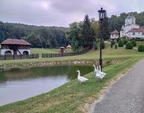 Gänse vor einem See in einem Kaona-Kloster, Serbien lizenzfreies stockfoto