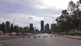 Gänse, welche die Straße kreuzen stock video