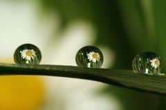 Gänseblümchen 1.2.3! Stockfoto